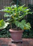 Zucchini che cresce in contenitore Immagine Stock