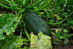Zucchini con le gocce che crescono nel giardino Immagini Stock Libere da Diritti