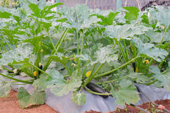 Zucchini or courgette plants Royalty Free Stock Photos