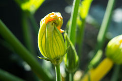 Zucchini Courgette Squash Flower Opening Stock Image