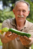 Zucchini crop Stock Photography