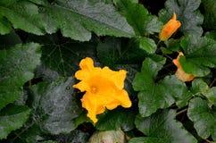 Zucchini di fioritura Immagini Stock