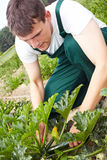 Zucchini di taglio del coltivatore fotografia stock libera da diritti