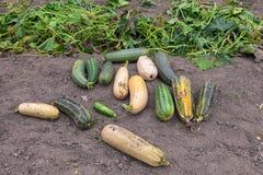 Zucchini dorośnięcie w jarzynowym ogródzie Zdjęcia Royalty Free