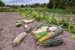 Zucchini dorośnięcie w jarzynowym ogródzie Fotografia Stock
