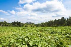 Zucchini field Royalty Free Stock Image