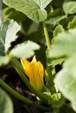 Zucchini flower Stock Photo