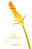 Zucchini flower. Isolated on a white background Stock Photos