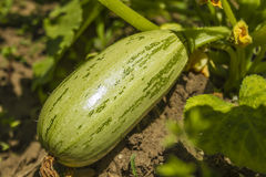Zucchini. With flower in a farm from Jijel, Algeria stock photo
