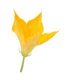 Zucchini flower. Isolated on white Stock Photos