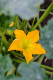 Zucchini flower. Male zucchini flower in blossom royalty free stock photography