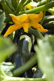 Zucchini flower. Photograph of the yellow flower of Zucchini Royalty Free Stock Photos