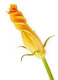 Zucchini flower Stock Image