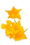 Zucchini flowers Royalty Free Stock Photography