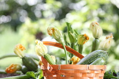 Zucchini flowers in basket in vegetable garden, close up Royalty Free Stock Photo
