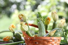 Zucchini flowers in basket in vegetable garden Stock Image