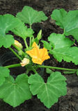 Zucchini flowers bloomed in the organic garden Stock Photos