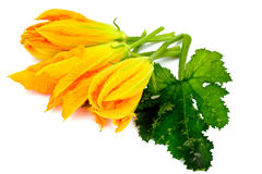 Zucchini Flowers on a White Background Stock Photo