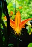 Zucchini flowers Stock Photography