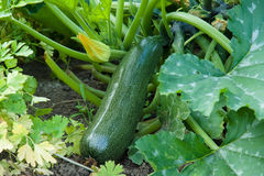 Zucchini in the garden Royalty Free Stock Photography