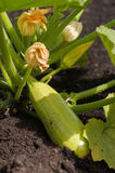 Zucchini in the garden Royalty Free Stock Image