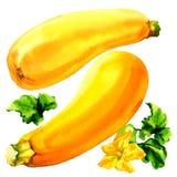 Zucchini giallo crudo con la foglia ed il fiore, due ortaggi freschi, isolati, illustrazione dell'acquerello su bianco Fotografia Stock
