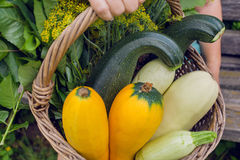 Zucchini and greens from the home garden in the basket of an elderly farmer. Harvest time Royalty Free Stock Photo