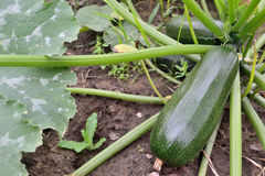 Zucchini grow in the garden Royalty Free Stock Photography