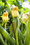 Zucchini growing in the garden Stock Images