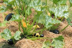 Zucchini i vår organiska permacultureträdgård med komposttäckning Royaltyfri Fotografi