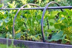 Zucchini im Gemüsegarten Lizenzfreie Stockbilder