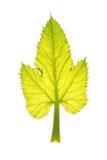 Zucchini leaf isolated on white Stock Image