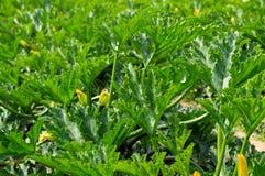 Zucchini leaves field Stock Image