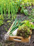Zucchini, Lollo rosso lettuce salad and green onion in the organ. Ic vegetable garden. Vegetable beds Stock Photos