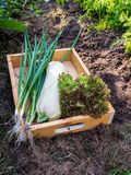 Zucchini, Lollo rosso lettuce salad and green onion in the woode. N box in the organic vegetable garden Stock Image