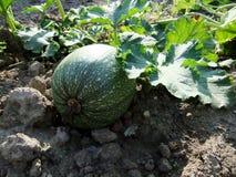 Zucchini maduro Imagem de Stock Royalty Free