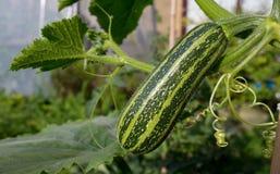 Zucchini mit Blatt-Mark-Zucchini Lizenzfreie Stockbilder