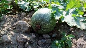 Zucchini no jardim Imagens de Stock