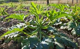 Zucchini o zucchini in un orto. Fotografie Stock