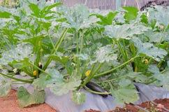 Zucchini- oder Zucchinianlagen Lizenzfreie Stockfotos