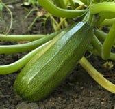 Zucchini på trädgården Royaltyfria Foton