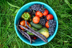 Zucchini, peppers, tomatoes, grapes, cucumbers and beans in blue plastic basin Royalty Free Stock Images