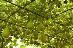 zucchini piantato nella campagna Immagine Stock Libera da Diritti