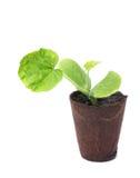 Zucchini plant. Single zucchini plant isolated on white background stock photos