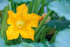 Zucchini plant and flower. Young vegetable marrow growing on bus. Flower of vegetable marrow on bush. Zucchini plant and flower royalty free stock photo