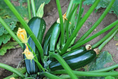 Zucchini plant Stock Photography