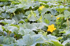 Zucchini plant growing in the garden with big yellow flowers. Ma. The Zucchini plant growing in the garden with big yellow flowers. Marrow ripening on warm stock photography