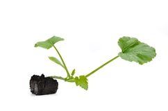 Zucchini plant Stock Images