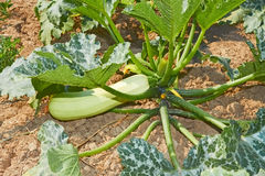 Zucchini plant on soil Stock Images