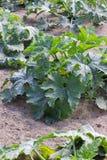 Zucchini plant Royalty Free Stock Photos